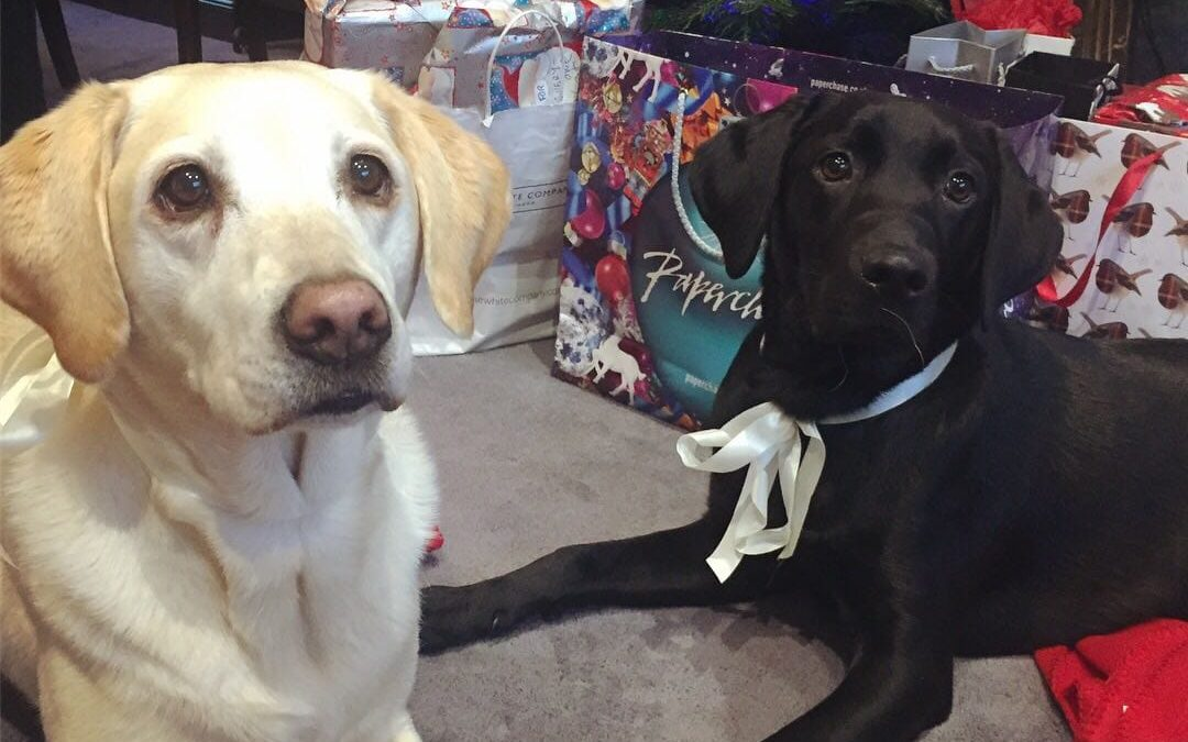 Labradors that bring happiness to patients